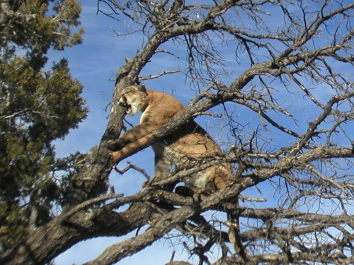 arizona mountain lion hunting