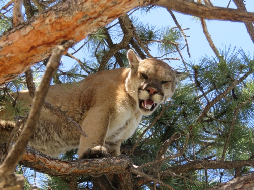 arizona mountain lion cougar hunts guides outfitters